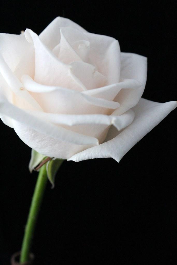 One White Rose Single White Rose | Se...