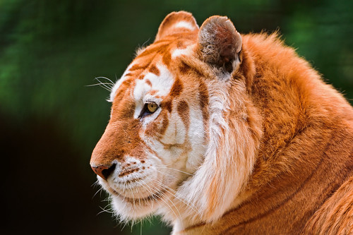 Profile of the golden tiger II | by Tambako the Jaguar