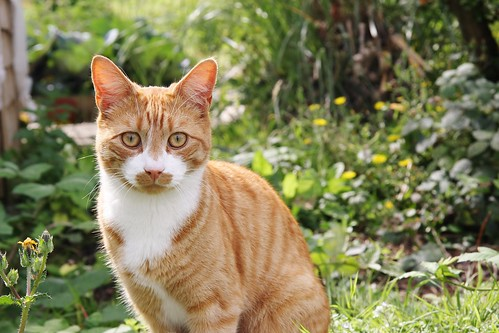 Ginger Moggy | by ChodHound