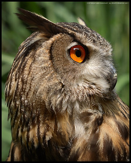 Eagle Owl (Albert)_Brandywine Zoo_Wilmington,Delaware | by MDunckley