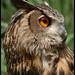 Eagle Owl (Albert)_Brandywine Zoo_Wilmington,Delaware