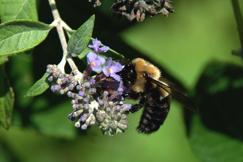 Bumble Bee on Butterfly Bush (Buddleia) | by Nikon Nut