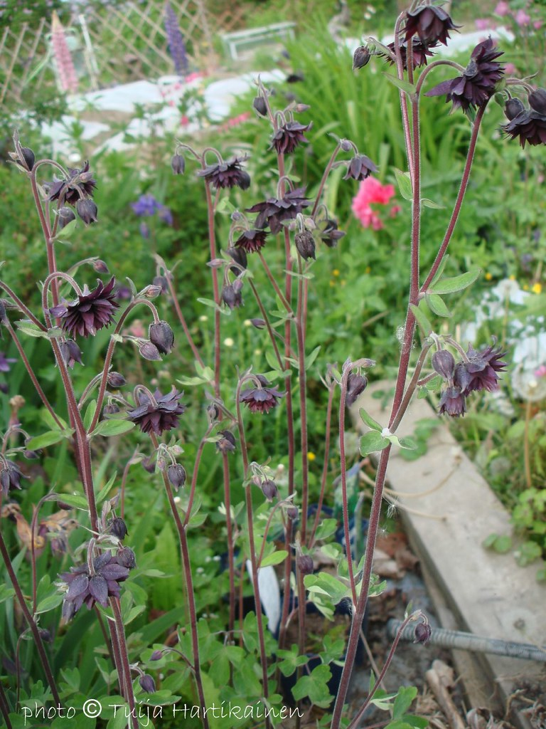 Black columbine aquilegia ssp bgrrrlie flickr black columbine aquilegia ssp by bgrrrlie izmirmasajfo