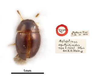 Aglyptinus agathidioides Blair 1930 | by NHM Beetles and Bugs