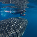 kozy confronting whale shark