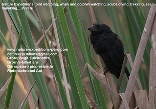 Groove-billed ani Birding Peru (2) | by Nature Expeditions 04