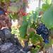 Ridge Vineyards