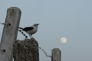 pied water tyrant and the moon | by Hector de Corazón