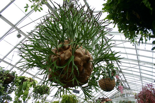 staghorn fern, Platycerium alcicorne, Polypodiaceae
