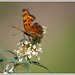 so glad I have a butterfly bush........