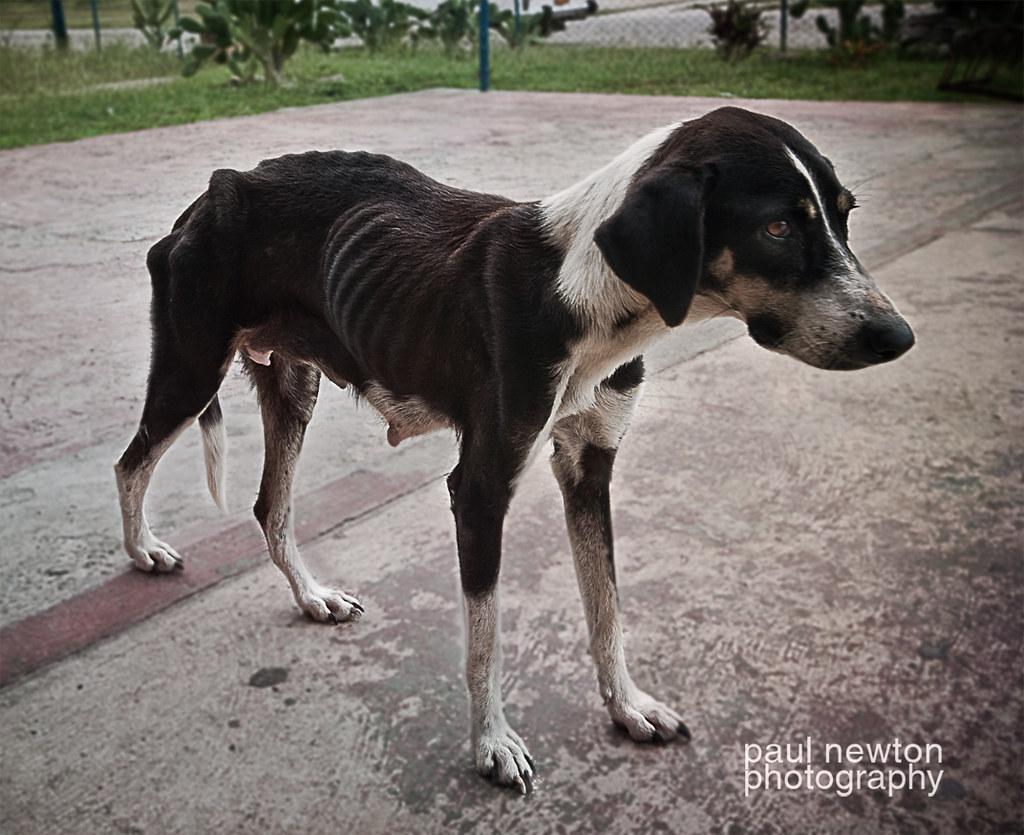 Galgo Dog Rescue Uk
