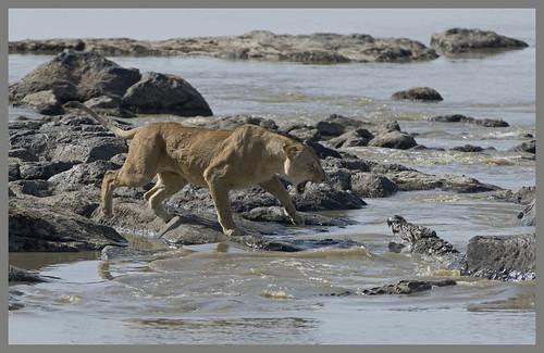 Lion_Crocodile_Mara_2008_RJK3334   by RichK008