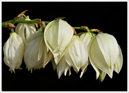 Day 226 - Yucca Blossoms | by Free 2 Be