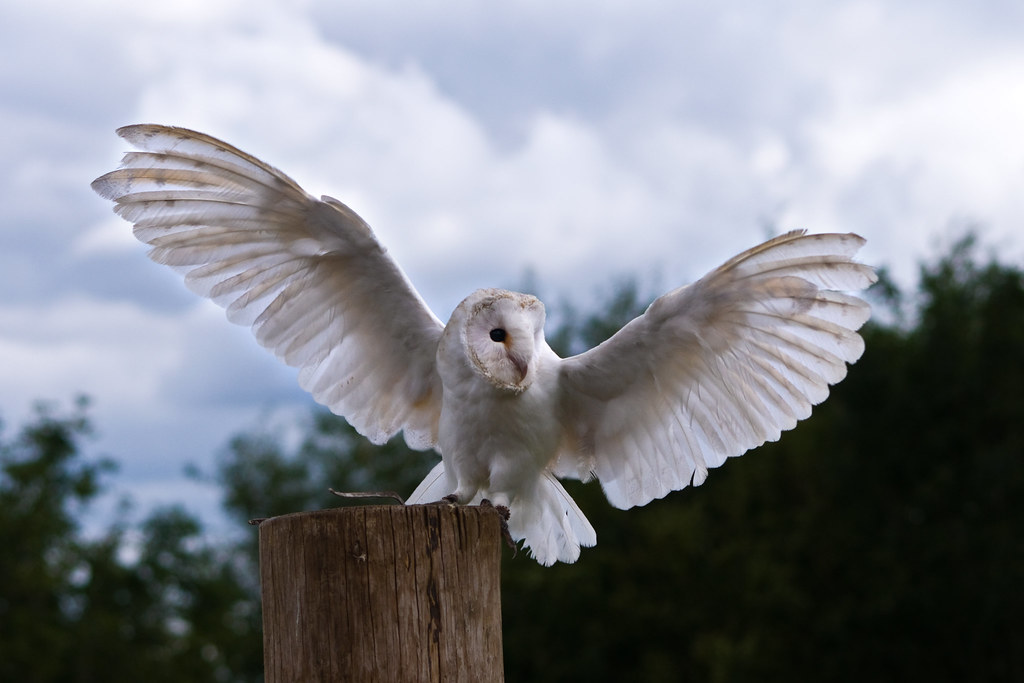 barn owl - wings spread   photos from my first visit to the …   flickr