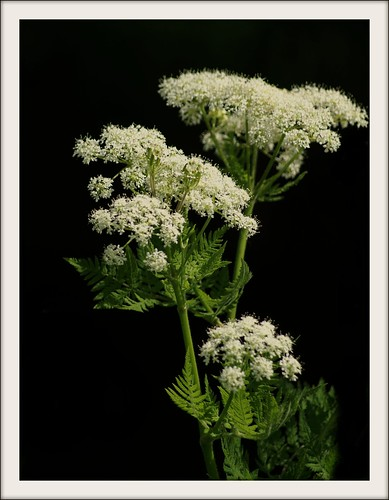 Wildflower : Mhyrris odorata : Sweet cicely | by Edinburgh Nette ...