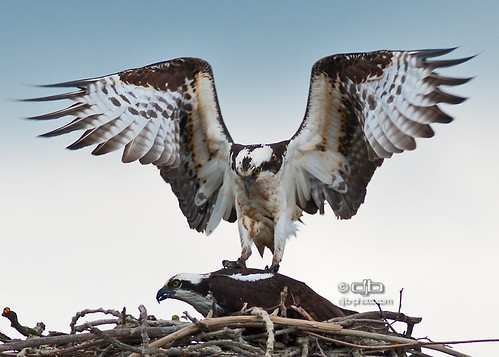 Osprey at Nest | by DouglasJBrown
