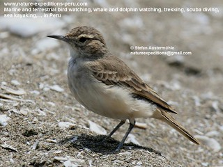 Coastal miner Birding Peru (2) | by Nature Expeditions 02