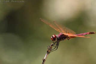 Red Dragonfly | by Uccio81 α