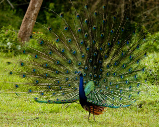 Male peacock | by Pickle'd Moments...