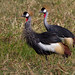 Grou-coroado / Grey crowned Crane