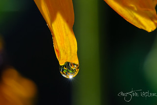 Distortion/distorted flowers inside the water drop! | by Christine Kapler / PASSED AWAY