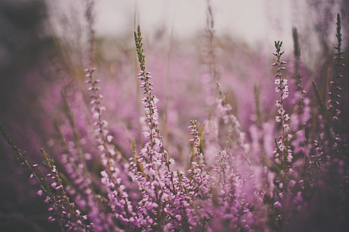 Lucky Heather | by Paisley patches