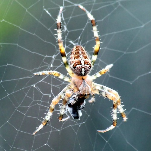 Kruisspin (Araneus diadematus) [eXPLoReD] | by Ger Bosma