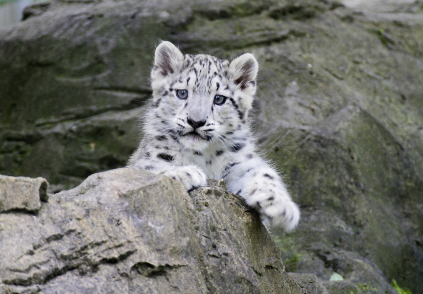 snow leopard cub 2 | now 17 weeks old and posing already ...