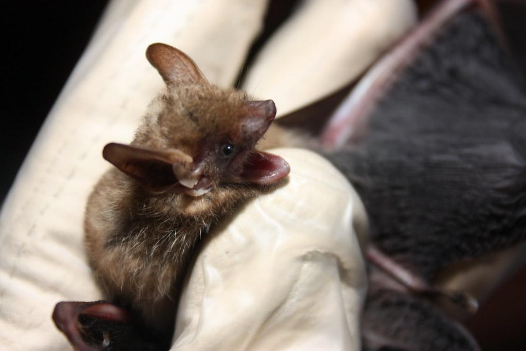 tri-colored bat