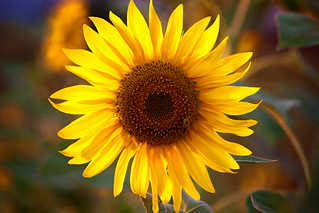 Sunflower | by Theophilos