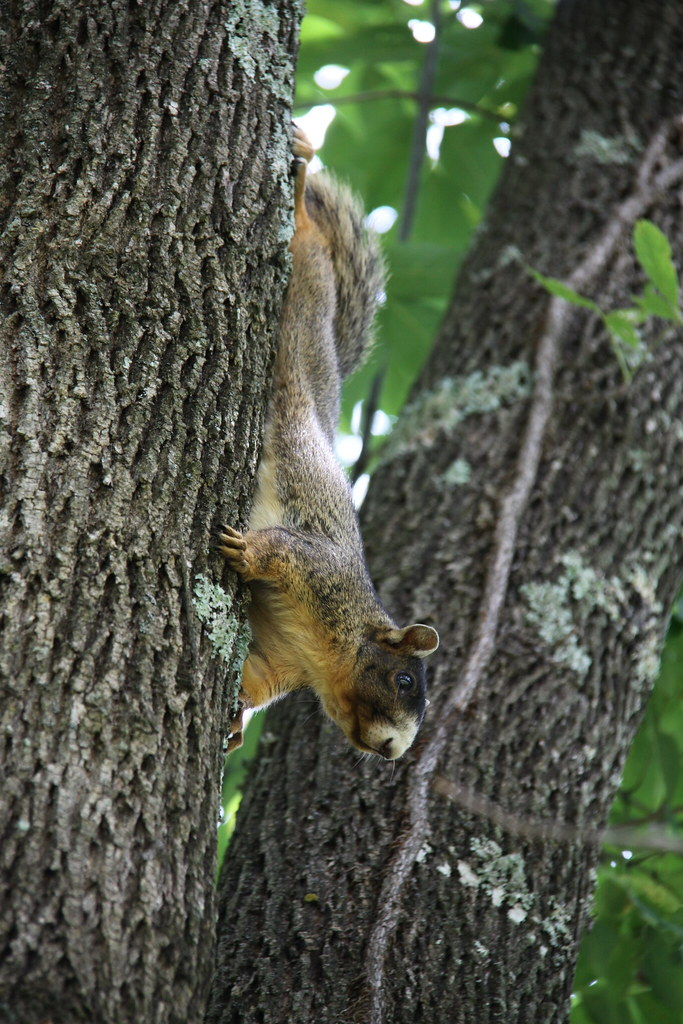 Virginia Creeper Trail | Black Faced Fox Squirrel a.k.a ...