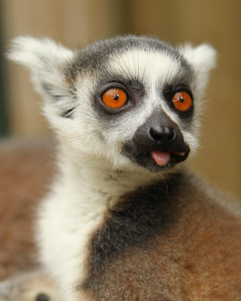 Baby Ring Tailed Lemur...