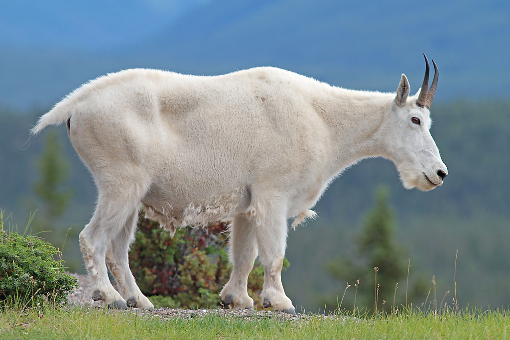 Mountain Goat Falling Off Cliff