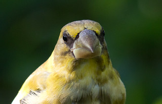 Evening Grosbeak | by Laura Erickson