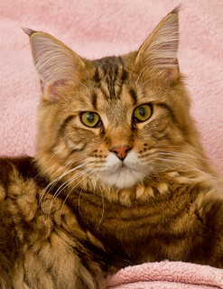 Stefan,The Beautiful Maine Coon! | by jazzpics