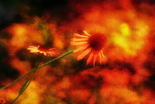 Coneflowers | by ~Jeannine~