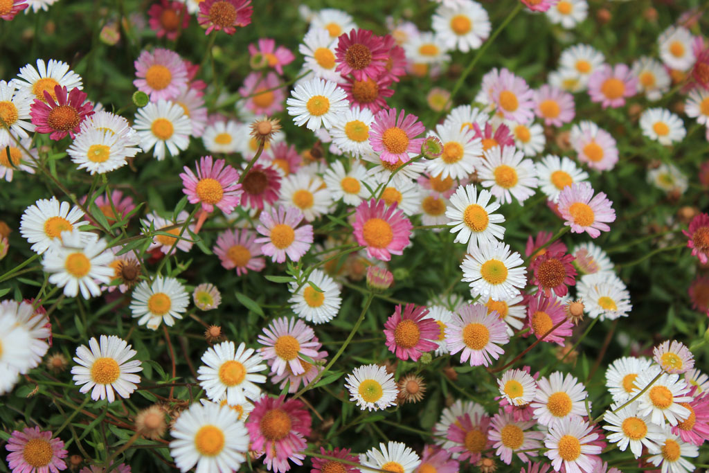erigeron profusion those little flowers love alpine and ro flickr. Black Bedroom Furniture Sets. Home Design Ideas