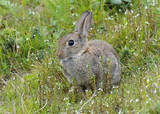 Wild Rabbit (Oryctolagus cuniculus) | by www.johnmoney-photography.uk