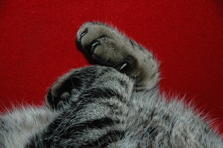 Front paws of 'Out' the cat. | by Bazzaphotos