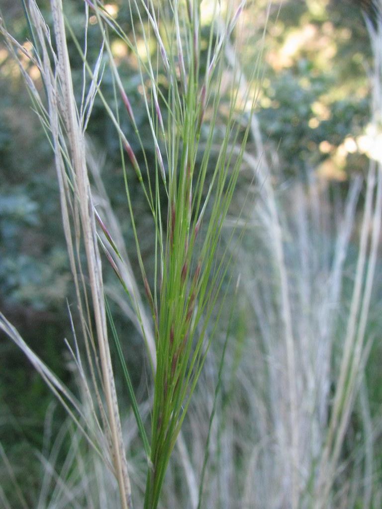 austrostipa scabra  rough spear grass