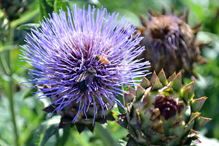 Artichoke | by Brooklyn Botanic Garden