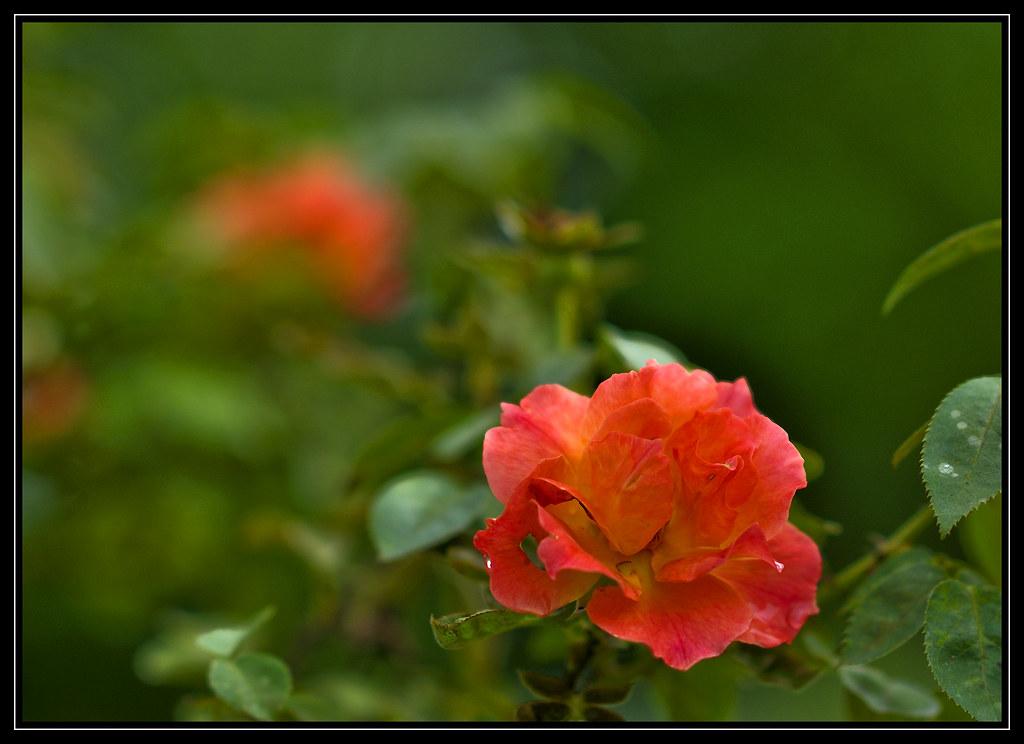 ... F_DSC5418 悠閒生活 Living Easy 玫瑰花 Rose 花 Flowers