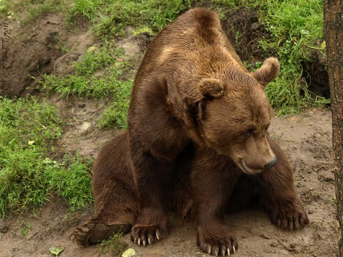 Eurasian Brown Bear / Europese Bruine Beer | by Rick & Bart