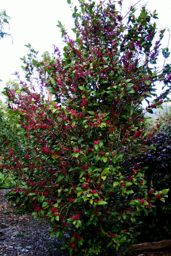 Graptophyllum ilicifolium - Holly Leaf Fuschia or Mt Black… | Flickr