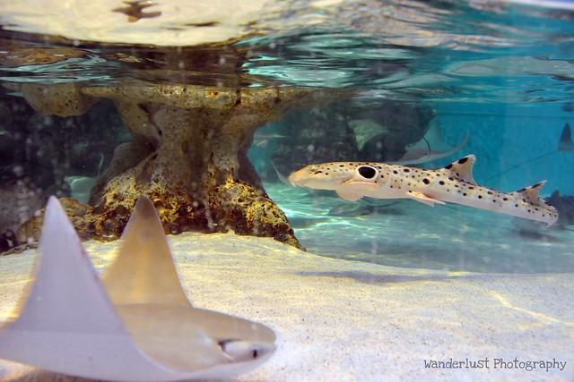 epaulette shark tank - photo #22