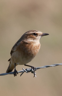 Whinchat | by Thomas-Harris