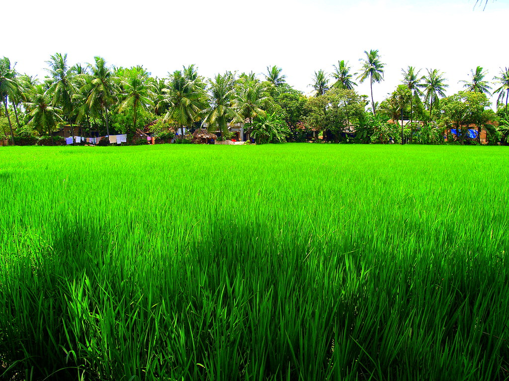 green rice paddy fields 03092011 p9039695 bheemeswara. Black Bedroom Furniture Sets. Home Design Ideas