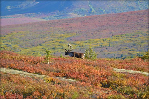 Caribou in Denali National Park - Autumn - Animal - Wildlife - Alaska | by blmiers2