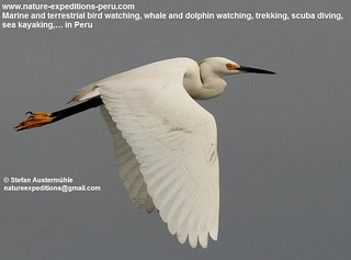 Snowy egret Birding Peru (63) | by Nature Expeditions 06