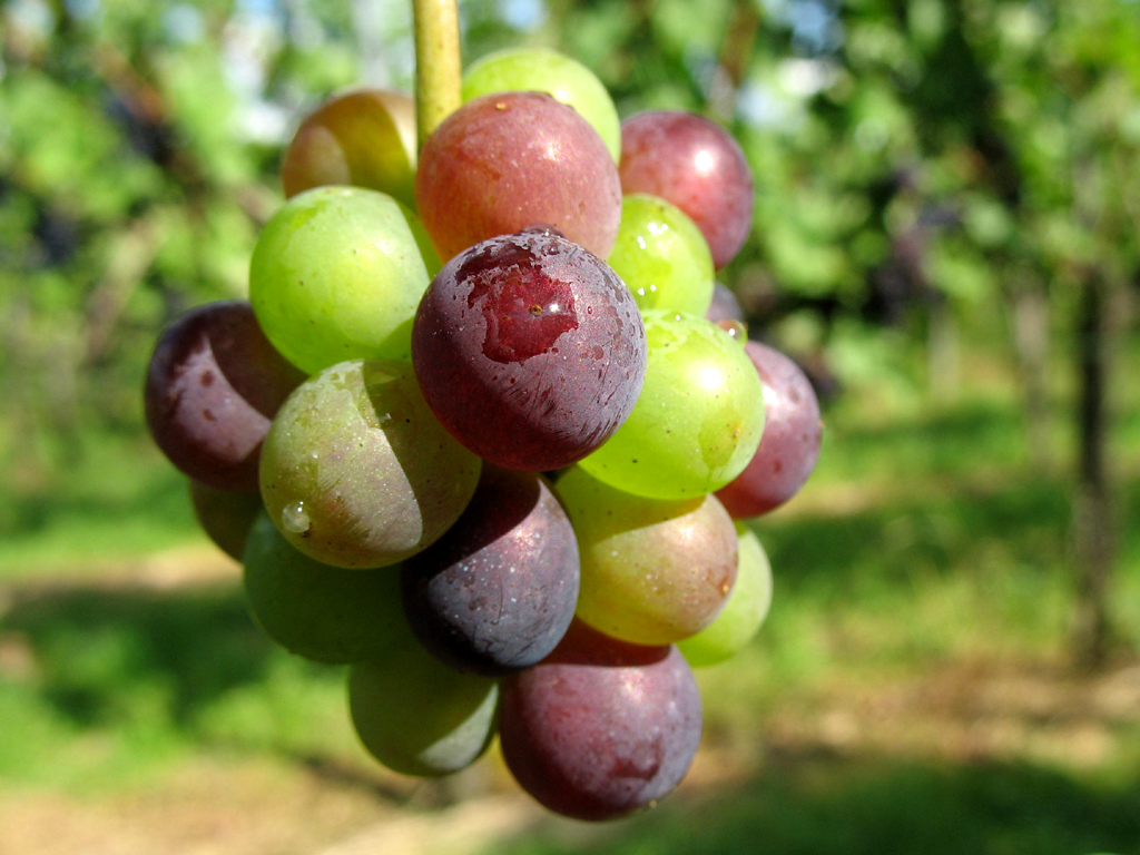 Image result for spoiled Grapes